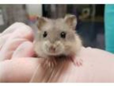 Adopt Mini Wheat a Hamster
