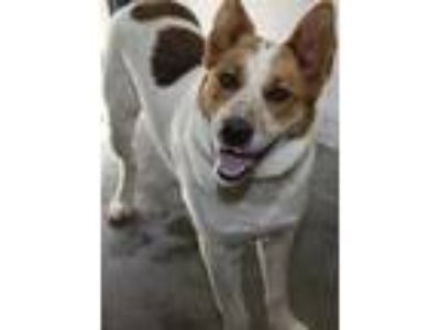 Adopt Buddy a White Australian Cattle Dog / Collie / Mixed dog in Bowling Green