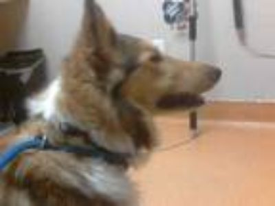 Adopt a Brown/Chocolate Collie / Mixed dog in Martinez, CA (25600376)