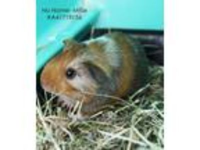 Adopt No Name a Brown or Chocolate Guinea Pig / Mixed small animal in Wilkes