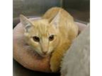 Adopt Cooper a Orange or Red Domestic Shorthair (short coat) cat in