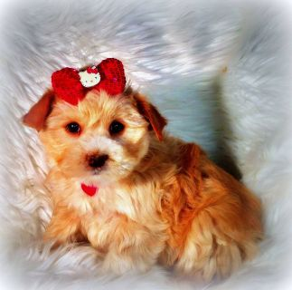 Golden blond female Yorkshire Terrier