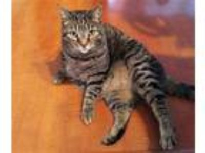 Adopt MOLLY a Tabby, Domestic Short Hair