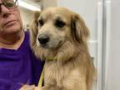 Adopt MARSHALL a Brown/Chocolate Terrier (Unknown Type, Medium) / Mixed dog in