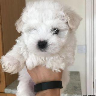Beautiful White Maltese Pups