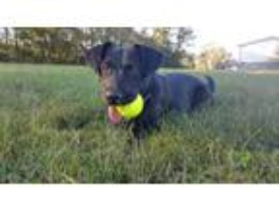 Adopt BeeDee a Labrador Retriever, Border Collie