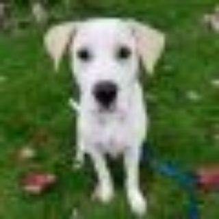Toby Labrador Retriever - American Bulldog Dog