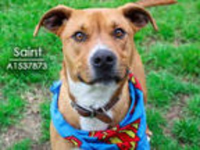 Adopt SAINT a Red/Golden/Orange/Chestnut - with White Boxer / Mixed dog in