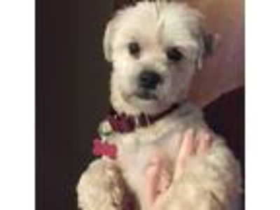 Adopt Pearl a White Lhasa Apso / Mixed dog in Boston, MA (25192630)