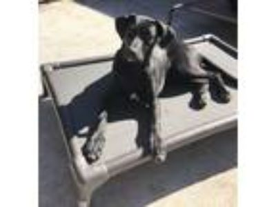 Adopt Jonas a Black Labrador Retriever