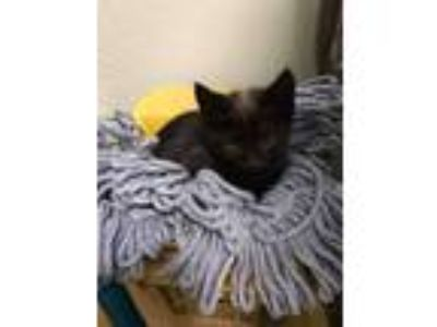 Adopt Streaker a All Black Domestic Shorthair cat in East Greenville