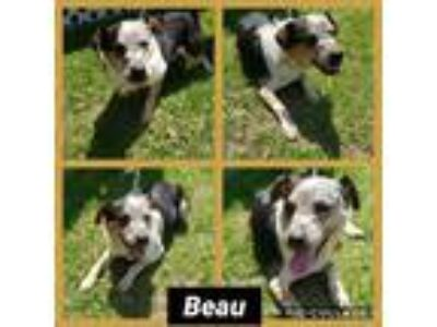 Adopt Beau a Tricolor (Tan/Brown & Black & White) Australian Shepherd / Beagle /