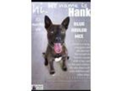 Adopt Hank a Australian Cattle Dog / Blue Heeler