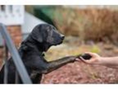Adopt Mr. Phipps a Black - with Brown, Red, Golden, Orange or Chestnut Labrador
