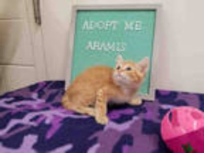 Adopt *ARAMIS a Orange or Red Domestic Shorthair / Mixed (short coat) cat in