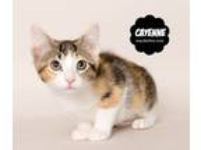Adopt Cayenne (kitten, in foster) a Domestic Short Hair