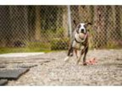 Adopt Lilly Bell a Hound, Boxer