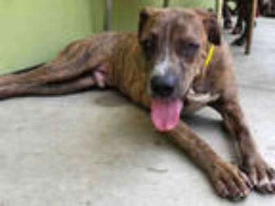 Adopt ROCKY a Brindle - with White Mixed Breed (Medium) / Shar Pei / Mixed dog