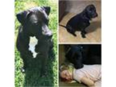 Adopt CHARLEMAGNE a Black - with White Labrador Retriever / Mixed dog in