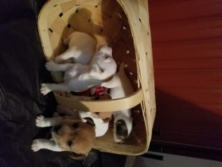 Jack Russell Terrier PUPPY FOR SALE ADN-63783 - Jack Russell puppies