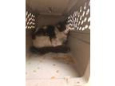 Adopt Patch a White Domestic Longhair / Domestic Shorthair / Mixed cat in
