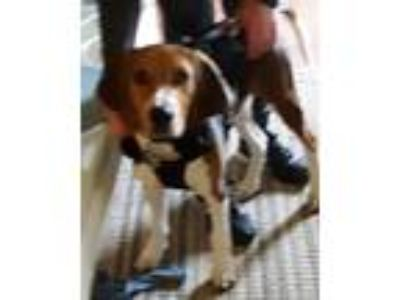 Adopt Cooper (Rehoming Fee $50) a Beagle / Treeing Walker Coonhound / Mixed dog