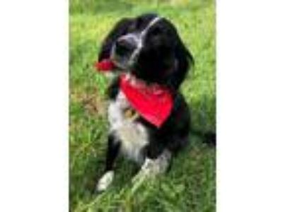 Adopt TX/Rocky a Brittany Spaniel, Border Collie