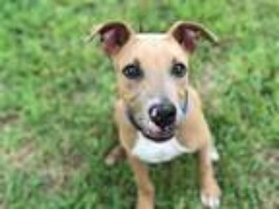 Adopt BLUR a Tan/Yellow/Fawn - with White Pointer / Shar Pei / Mixed dog in