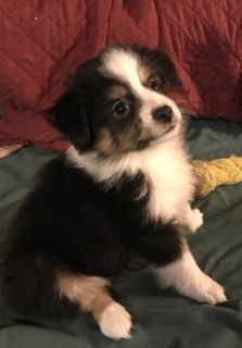 Miniature Australian Shepherd PUPPY FOR SALE ADN-102078 - Mini Aussie Pups in Maine