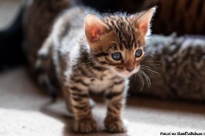 Outstanding Bengal Kittens
