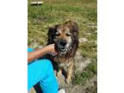 Adopt Alice a Brown/Chocolate - with Black Collie / Mixed dog in Henderson