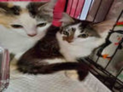 Adopt LADY a White (Mostly) Domestic Shorthair / Mixed (short coat) cat in