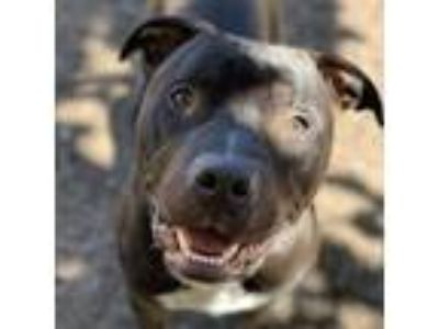 Adopt Cash a Black - with White Pit Bull Terrier / Mixed dog in Oakland