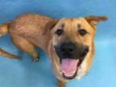Adopt Jedediah a Tan/Yellow/Fawn German Shepherd Dog / Mixed dog in Golden