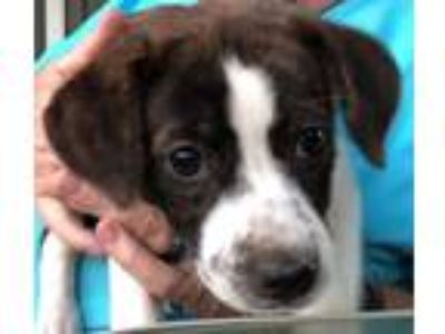 Adopt Addie a White Australian Shepherd / Australian Shepherd / Mixed dog in