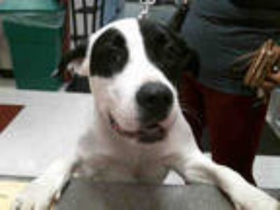 Adopt DUKE a White - with Black Pointer / Mixed dog in Plano, TX (25315054)