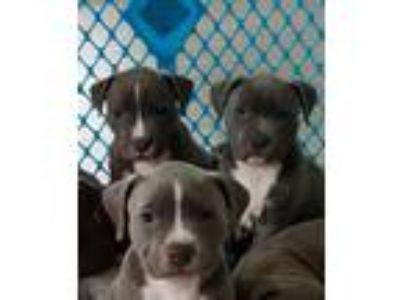Adopt 3 puppies a Gray/Blue/Silver/Salt & Pepper Pit Bull Terrier / Mixed dog in