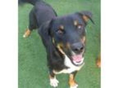 Adopt a Black - with Tan, Yellow or Fawn Australian Cattle Dog / Mixed dog in