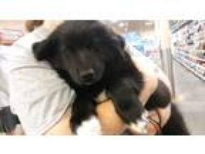 Adopt Sponge Bob a Black - with White Husky / Labrador Retriever / Mixed dog in