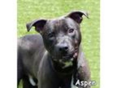 Adopt Aspen a Black - with White Labrador Retriever / Border Collie / Mixed dog