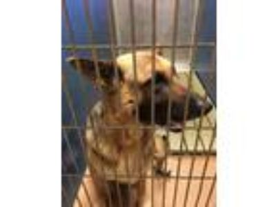 Adopt 41951624 a Black German Shepherd Dog / Mixed dog in Gainesville