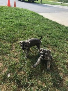 Schnauzer (Miniature) PUPPY FOR SALE ADN-83792 - Miniature Schnauzer Pupps