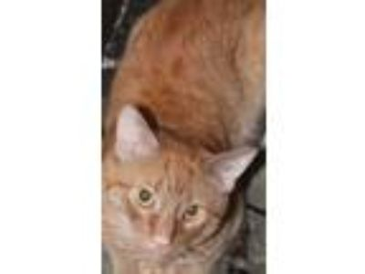 Adopt Foreclosure Orange Boy a All Black Domestic Shorthair / Mixed cat in Mount