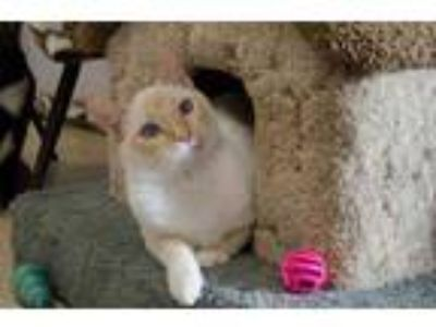 Adopt Boo a Orange or Red Siamese / Domestic Shorthair / Mixed cat in Hamilton