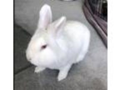 Adopt Angel a Other/Unknown / Mixed (short coat) rabbit in Scotts Valley