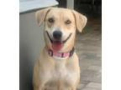 Adopt LILLY a Labrador Retriever, Hound