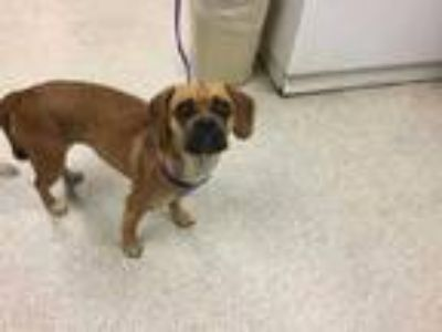 Adopt Dog a Brown/Chocolate - with White Pug / Beagle / Mixed dog in Jurupa