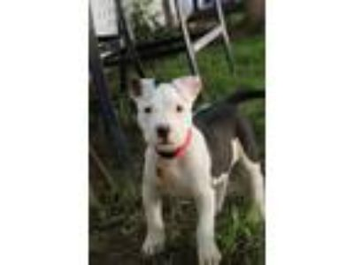 Adopt Thor a Pit Bull Terrier, American Staffordshire Terrier