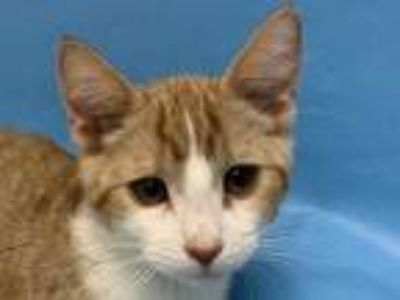 Adopt 41960989 a Orange or Red Domestic Shorthair / Mixed (short coat) cat in