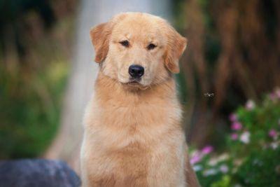 AKC Golden Retriever Puppies
